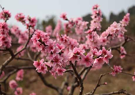 ☎赏花季节,铜梁金梅印象赏花一日游!